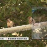 觀鳥會料全港26萬隻麻雀 疫情下公園商業區人流減 麻雀都要轉場覓食 – 20200823 – 香港新聞 – 有線新聞 CABLE News