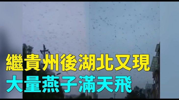 繼9月8日貴州樂山現大量麻雀天空聚集盤旋後,9月12日湖北宜昌市秭歸縣天空又現大量燕子滿天飛  #大紀元新聞網