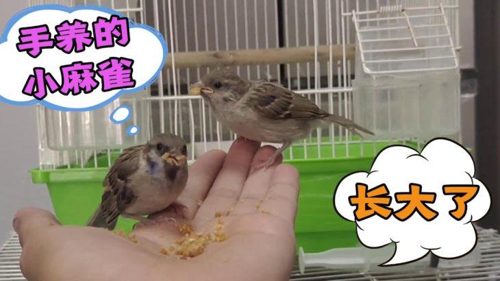 谁说麻雀养不活?嗷嗷待哺的小麻雀,几天都长这么大了,要放生吗【动物缘】